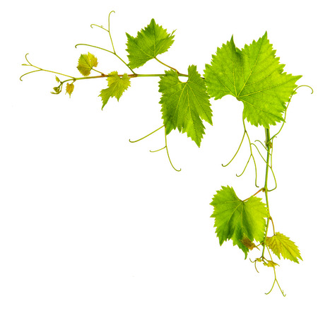 grapes on vine: grape vine leaves border isolated on white background Stock Photo