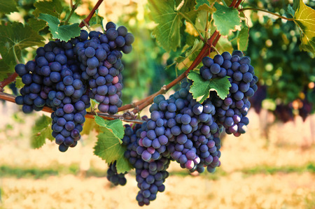 purple red grapes with green leaves on the vine  vine grape fruit plants outdoors  autumn and harvest  selective focus