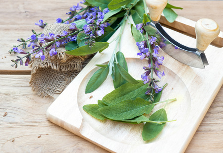 fresh sage leaves and blossoms on wooden cutting board with a curved knife mezzaluna for chopped herbs  selective focus photo