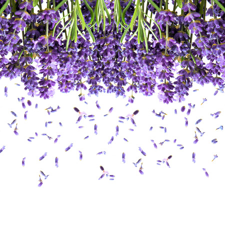 lavender flowers isolated on white. fresh blossoms. floral background photo