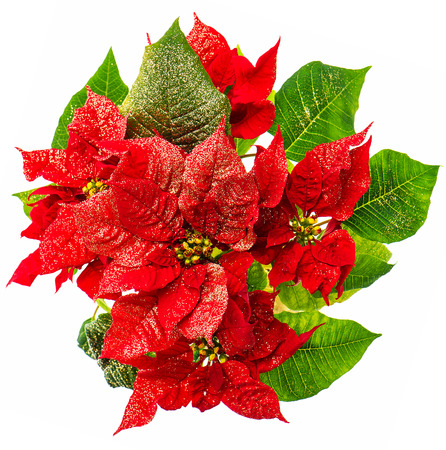 red poinsettia. christmas flower with golden decoration isolated on white background