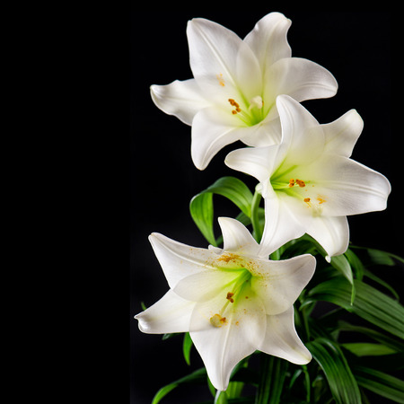 lilies: White lily flowers bouquet on black background. Condolence card concept
