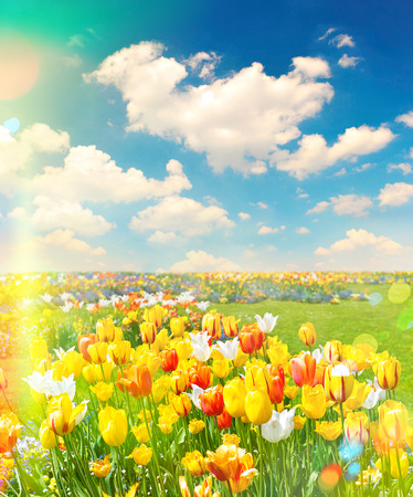 flowers field: Tulip flowers field over cloudy blue sky on sunny day Foto de archivo