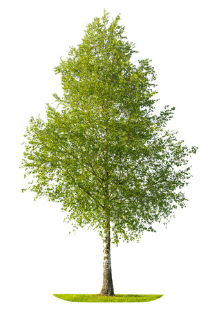 Green spring birch tree isolated on white background. Nature object
