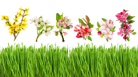 flowers field: Fresh green grass and spring flowers isolated on white background. Blossoms of apple, forsythia, cherry and pear tree Stock Photo