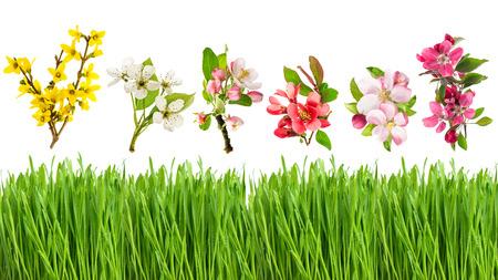 campo de flores: hierba y primavera flores verdes frescas aisladas sobre fondo blanco. Flores de manzana, forsythia, cerezo y peral Foto de archivo