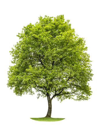 Green young oak tree isolated on white background. Nature object