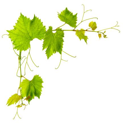 hojas parra: vid deja aislada sobre fondo blanco. objeto de la naturaleza
