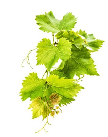 hojas parra: Banch de hojas de vid aislados sobre fondo blanco. enfoque selectivo