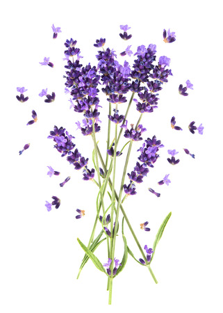 perfumed: Lavender flowers isolated on white. Fresh provencal plant blossoms Stock Photo