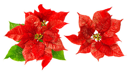 Red poinsettia blossom with green leaves. Christmas flower with golden decoration isolated on white background