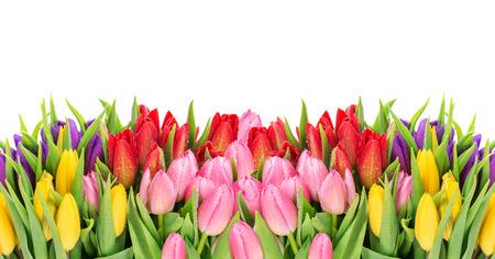 borde de flores: Tulipanes sobre fondo blanco. primavera de flores frescas con gotas de agua Foto de archivo