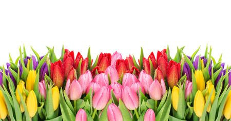 spring holiday: Tulips over white background. Fresh spring flowers with water drops