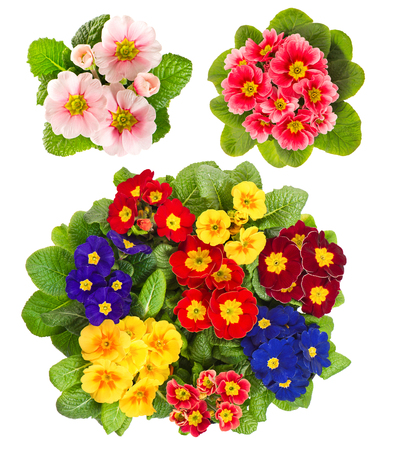 primula: Spring flowers Primula isolated on white background. Colorful primroses Stock Photo