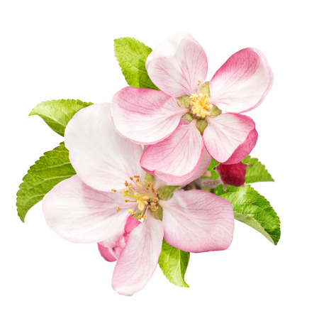 Apple tree blossom with green leaves isolated on white background
