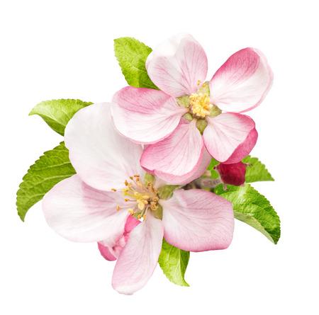 Apfelbaumblüte mit grünen Blättern isoliert auf weißem Hintergrund