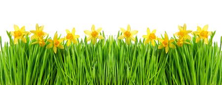 campo de flores: narcisos flores en la hierba verde con gotas de agua sobre fondo blanco. frontera floral