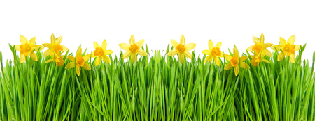 champs de fleurs: Narcissus flowers in green grass with water drops on white background. Floral border Banque d'images