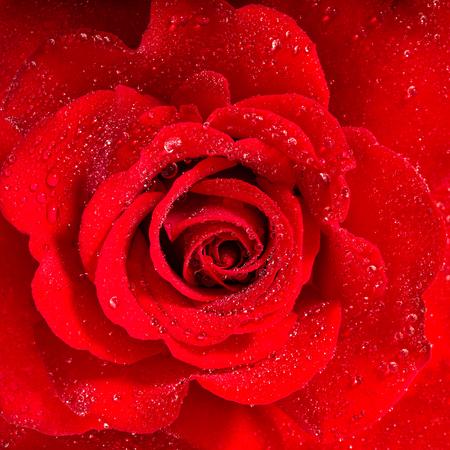 Rosa rossa. Fiore con gocce d'acqua. macro