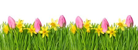 tulipan: Wiosna narcyz i kwiaty tulipanów w zielona trawa z kropli wody na białym tle Zdjęcie Seryjne