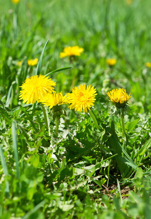 Dandelion flowers in green grass. Spring time. Sunny day