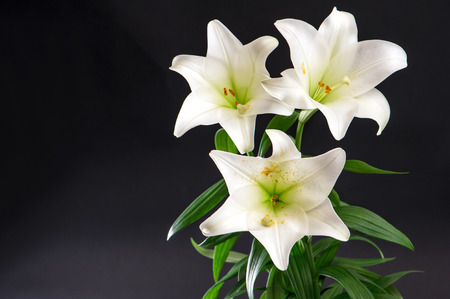 lily flowers: Lily flowers bouquet on black background. White blossoms