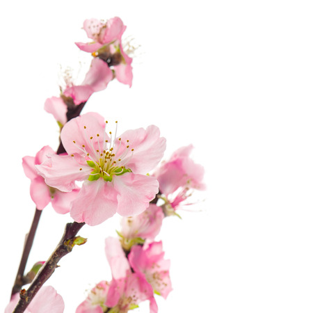 white blossom: Pink almond flowers isolated on white background. Selective focus