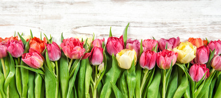 Bouquet of fresh multicolor tulips. Spring flowers. Floral border