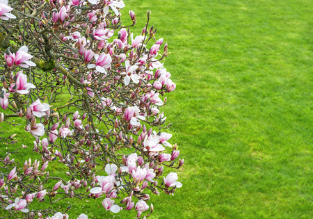 magnolia tree: Blossoming of magnolia tree. Spring flowers on natural green background Stock Photo
