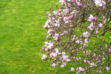 magnolia tree: Blossoming of magnolia  tree. Spring flowers on natural green grass background Stock Photo