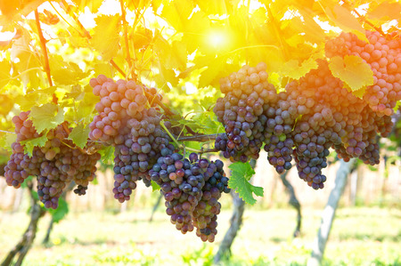 bunch of grapes: Purple red grapes with green leaves on the vine. Vine grape fruit plants outdoors. Sunset