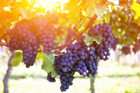 bunch of grapes: Red grapes on the vine. Vine grape fruit plants outdoors by sunset Stock Photo