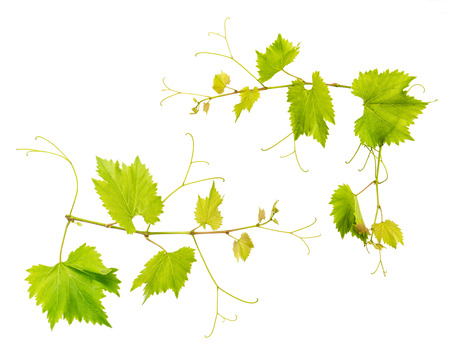 hojas parra: Grape vine leaves isolated on white background. Fresh green leaves. Vine sprig Foto de archivo