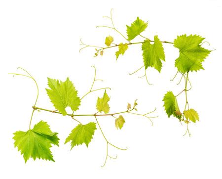 hojas parra: vid deja aislada sobre fondo blanco. hojas verdes frescas. ramita de vid Foto de archivo