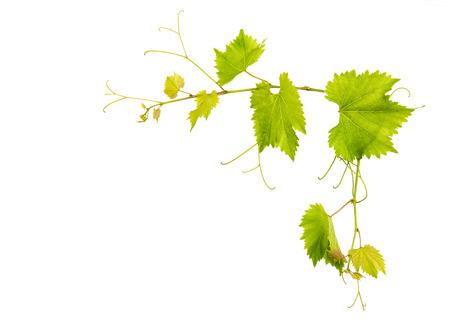 hojas parra: vid de uva frontera de hojas aisladas sobre fondo blanco Foto de archivo
