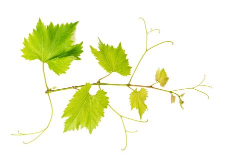 hojas parra: vid deja aislada sobre fondo blanco. ramificación de la vid. objeto de la naturaleza Foto de archivo