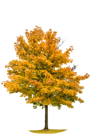Autumnal maple tree isolated on white background. Yellow red autumn leaves