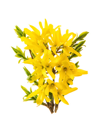 Blossoming forsythia. Spring flowers isolated on white background Stock Photo