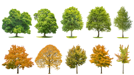 tilo: Trees isolated on white background. Oak, maple, linden, birch. Green andyellow leaves