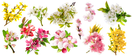 Blossoms of apple tree, cherry twig, pear, almond, forsythia. Set of spring flowers isolated on white background Stock Photo