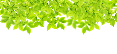 Green leaves on white background. Spring tree