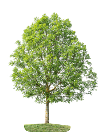 Tree with green leaves isolated on white background. Nature object