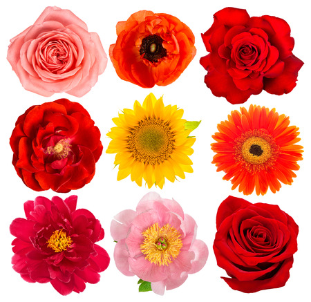 Flower head. Rose, sunflower, peony, gerber, anemone isolated on white background