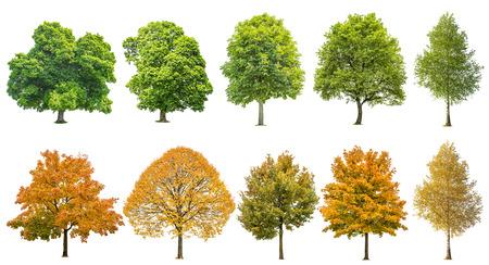 Alberi di estate di autunno isolati su priorità bassa bianca. Rovere, acero, tiglio, betulla. Foglie verdi e gialle