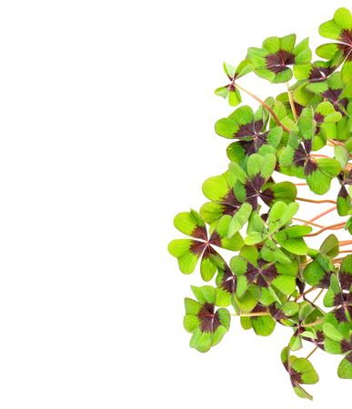 Fresh green four leaved clover on white background