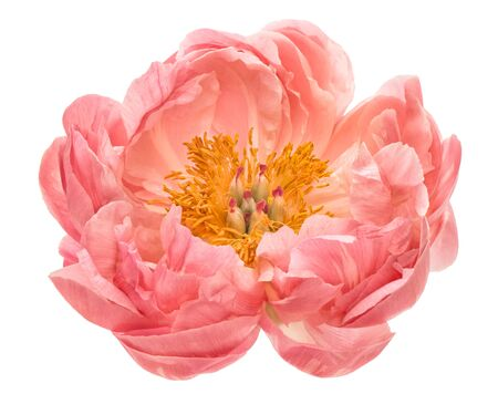 Pink peony flower head isolated on white background