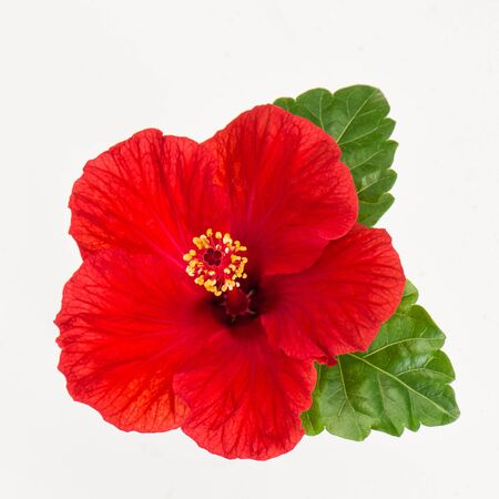 Hibiscus flower head isolated on white background. Fresh red blossom Banco de Imagens