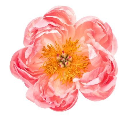 Pink peony flower head isolated on white background. Top view