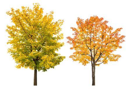 Ahornbaum im Herbst lokalisiert auf weißem Hintergrund. Herbstliche Blätter Standard-Bild