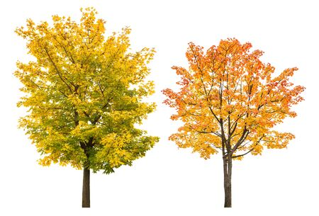 Maple tree in autumn isolated on white background. Autumnal leaves Reklamní fotografie